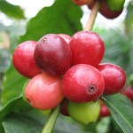 Arabica vs Robusta: No Contest