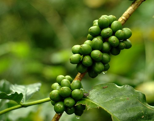 Monsoon Coffee India
