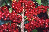 Brazil Coffee Beans