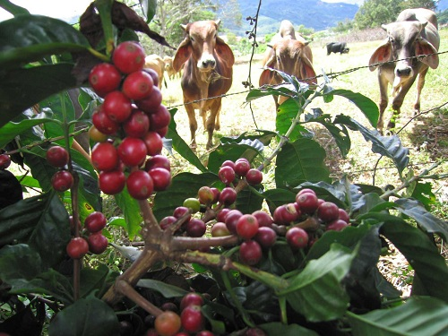 Cattle approach the Coffee plant