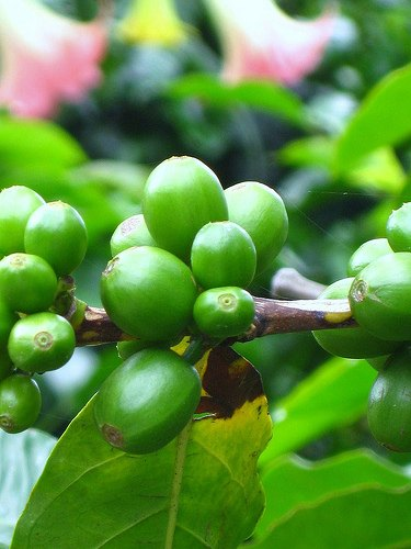 Costa Rica Coffee Plant