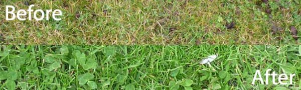Grass before and after coffee grounds