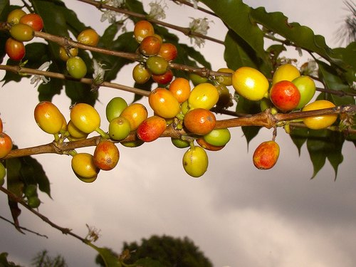 Kona Coffee Confusion