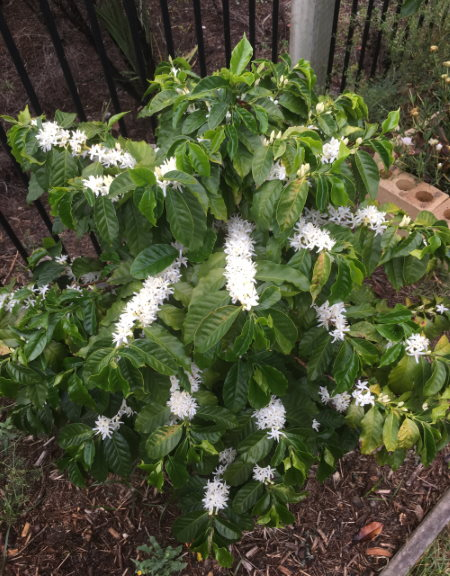 coffee plant blossom